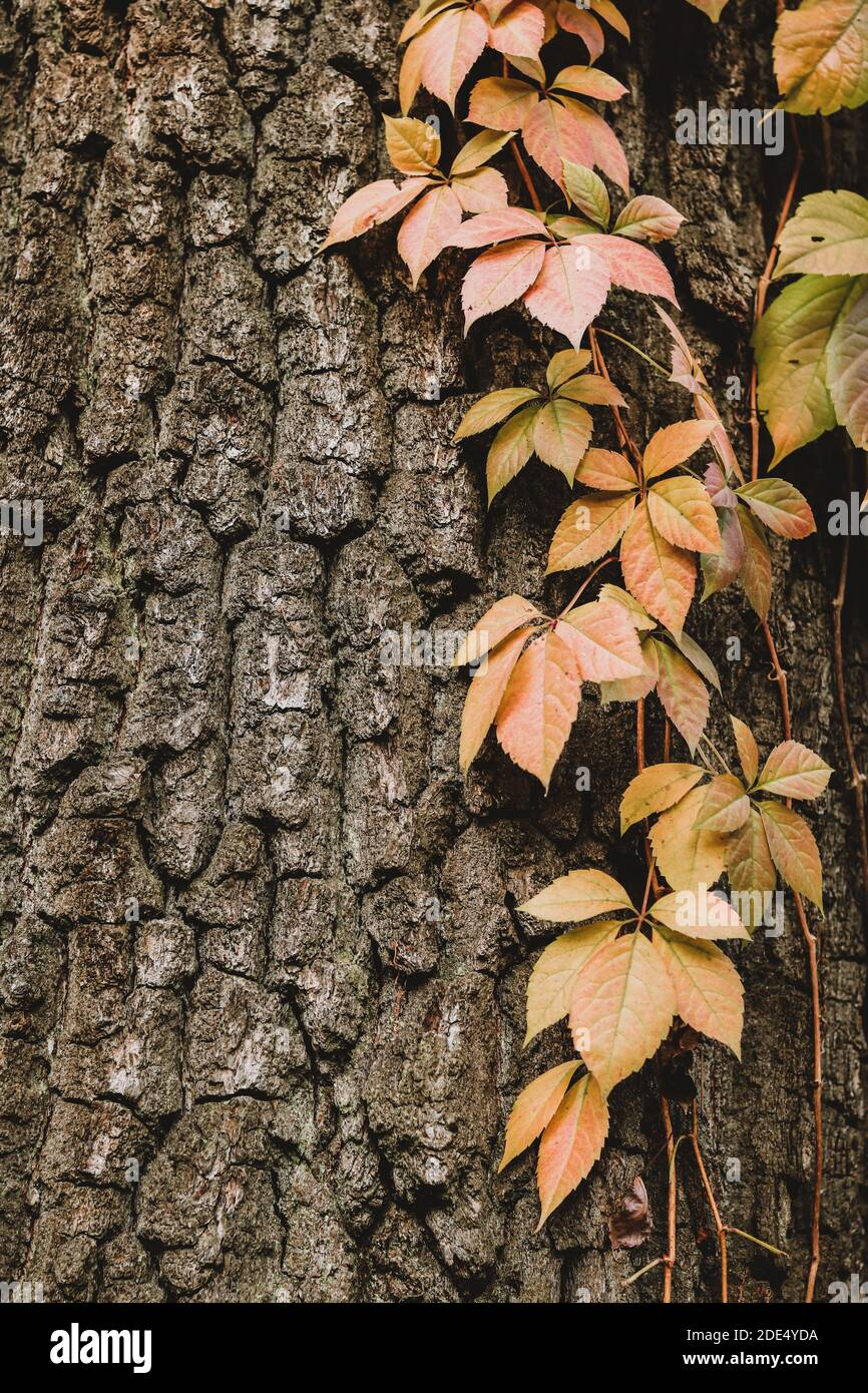 Autumn background with red ivy leaves on a tree trunk Stock Photo