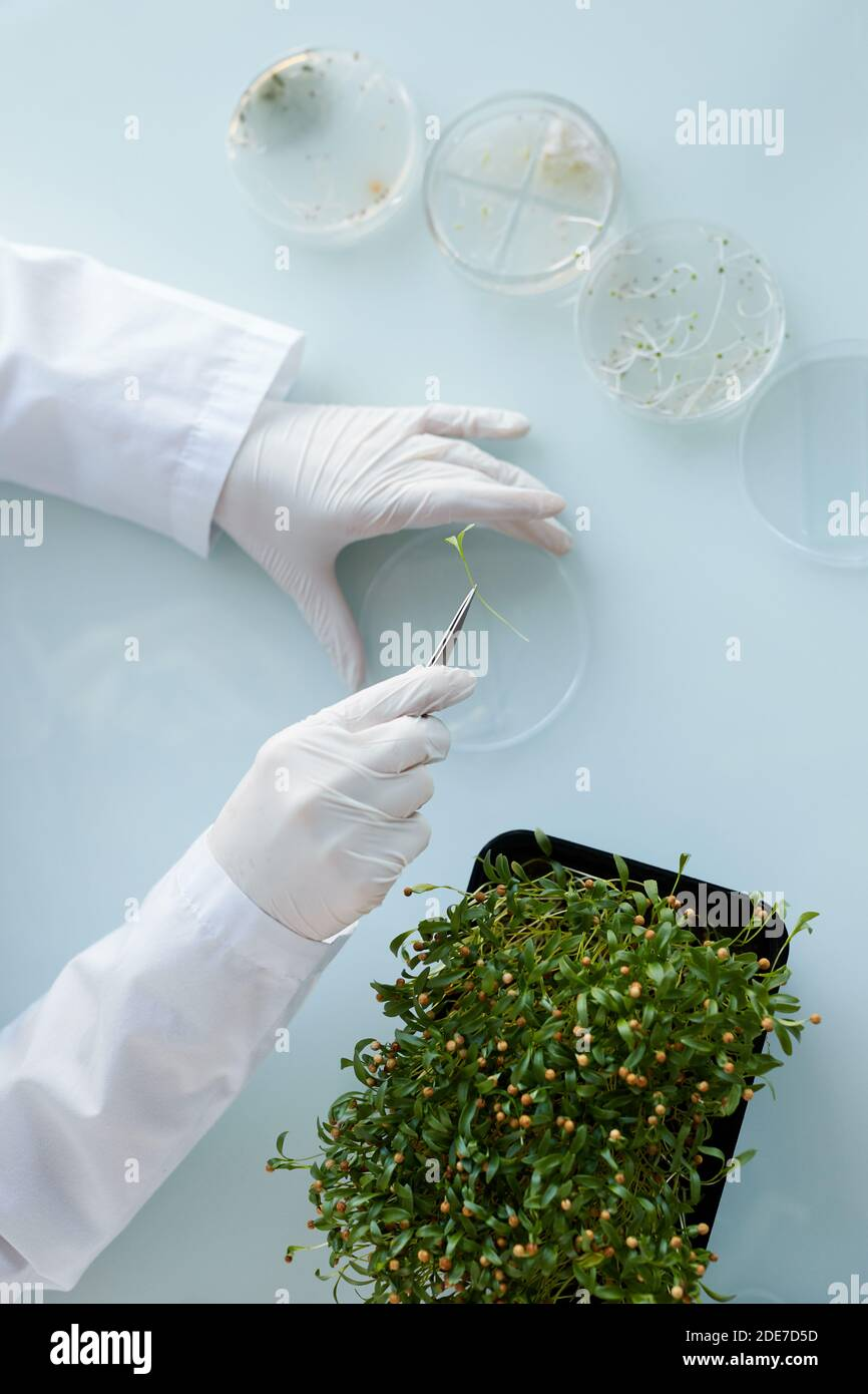 Top view close up of unrecognizable female scientist studying plant samples in petri dish while working at biotechnology lab, copy space Stock Photo