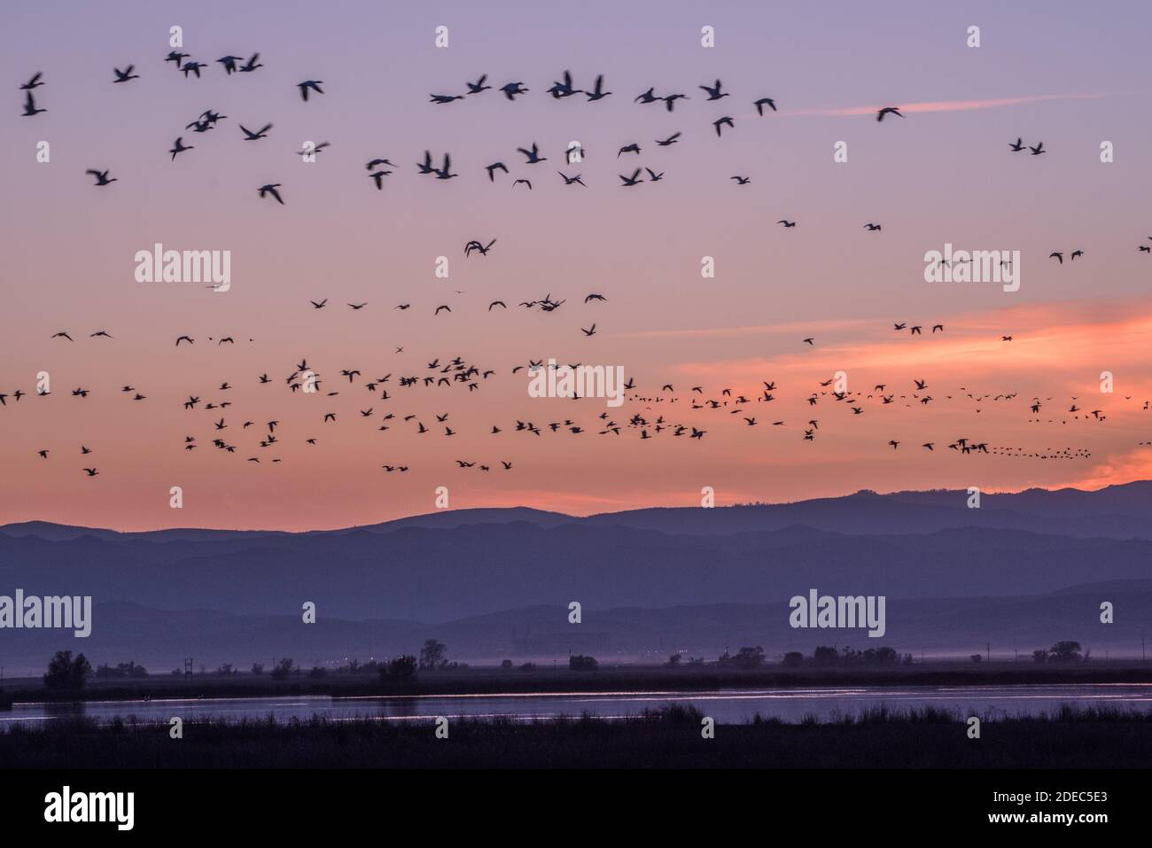 Massive flocks of snow geese (Anser caerulescens) & Ross's geese fly over Sacramento NWR in the fall as the migrating birds arrive. Stock Photo