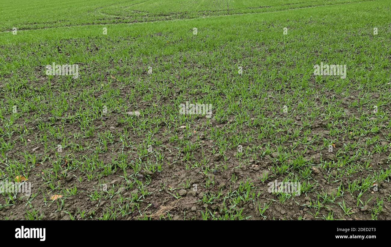 field with seedlings, Germany Stock Photo