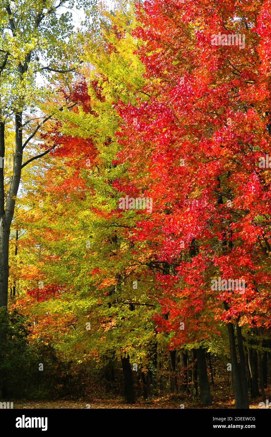 Beautiful red and golden maple trees in their Fall colors in Southeast Michigan MI near Detroit Stock Photo