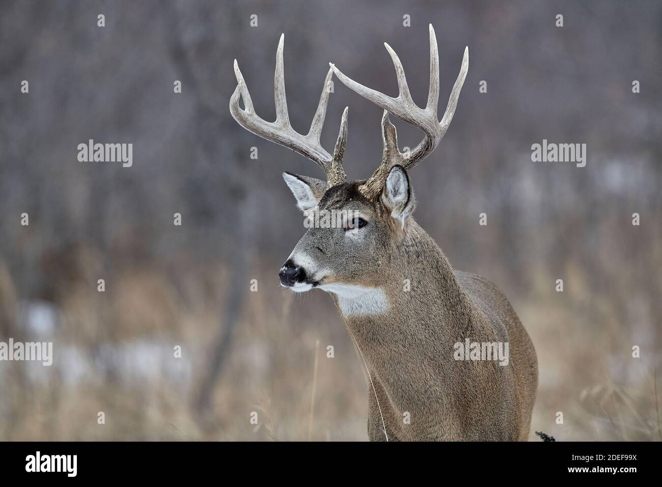 White-tailed deer (Odocoileus virginianus) stag  with full growth antlers, Calgary, Alberta, Canada Stock Photo