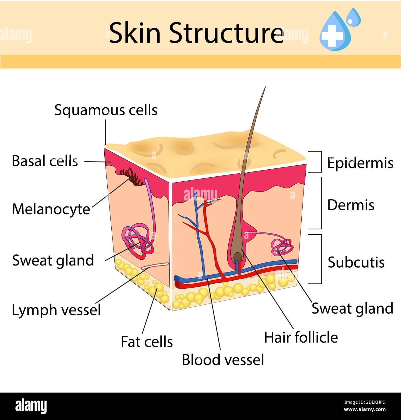 Human Skin Diagram High Resolution Stock Photography and Images - AlamyAlamy