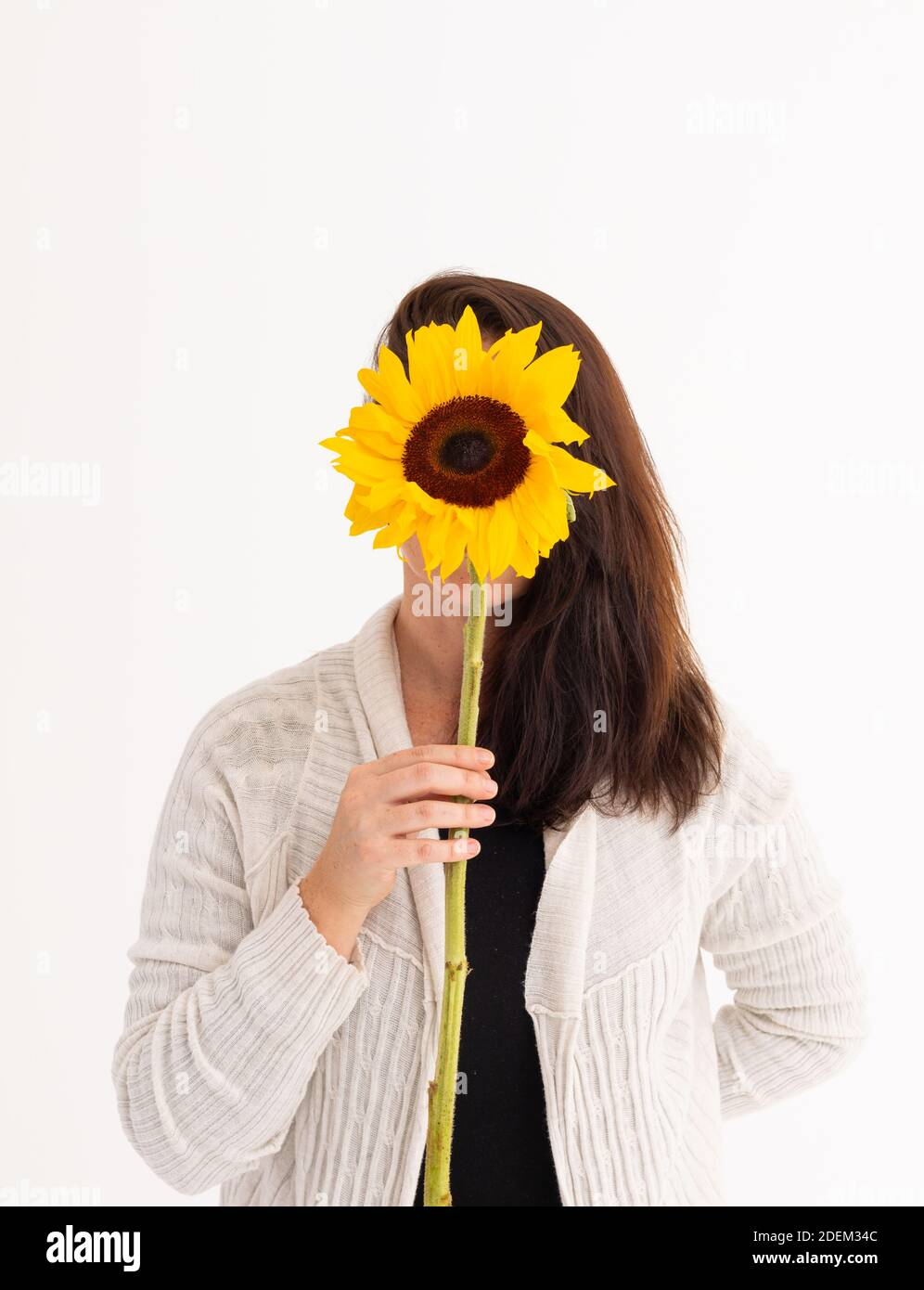 Sunflower White Background High Resolution Stock Photography And Images Alamy