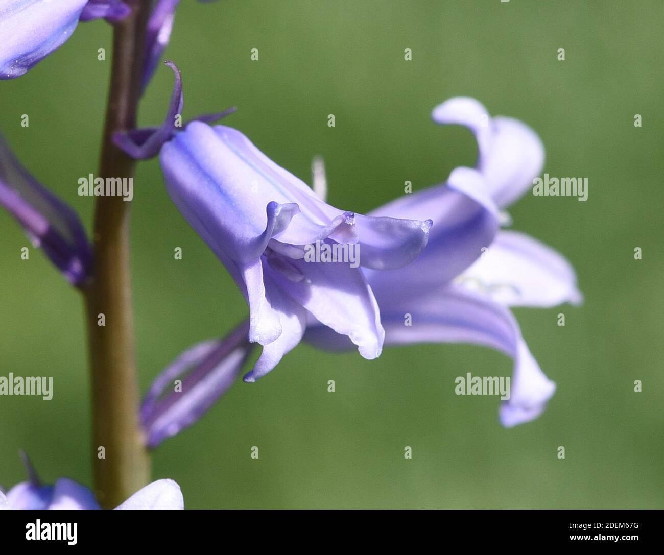 Das Atlantische Hasengloeckchen, Hyacinthoides non-scripta, auch Englisches Hasengloeckchen, ist eine frueh bluehende Zwiebelpflanze mit blauen Bluete Stock Photo