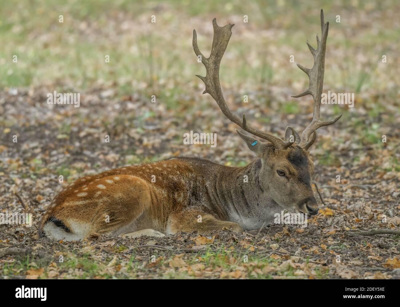 Hirsch, Damwild, Naturpark, Wildgehege Glauer Tal, Fläming, Brandenburg, Deutschland Stock Photo