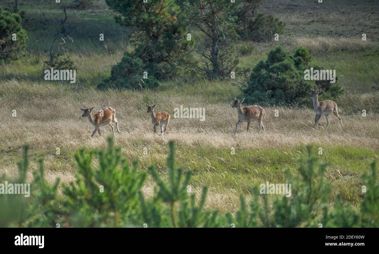 Damwild, Naturpark, Wildgehege Glauer Tal, Fläming, Brandenburg, Deutschland Stock Photo