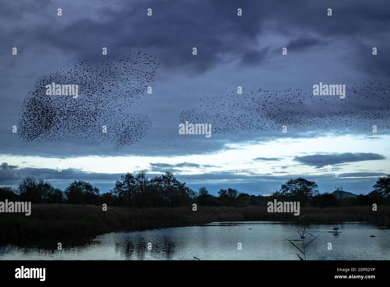 UK Weather: Evening starling murmuration over Ham Wall RSPB reserve, part of Avalon marshes wetlands nature reserve in Somerset, UK Stock Photo
