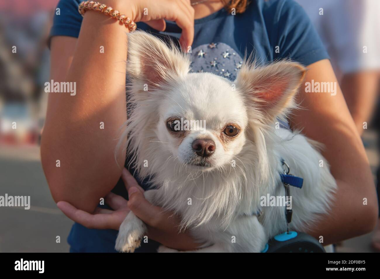 small Chihuahua puppy sits in the arms of the owner. Chihuahua is a breed of miniature indoor dogs. little White dog. Stock Photo