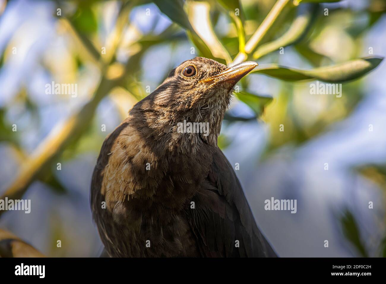 Very Close Portrait of Female Common Blackbird on Olive Tree.. Mixed Sunlight Trough Olive Branches. July Photo in Slovenia. Stock Photo