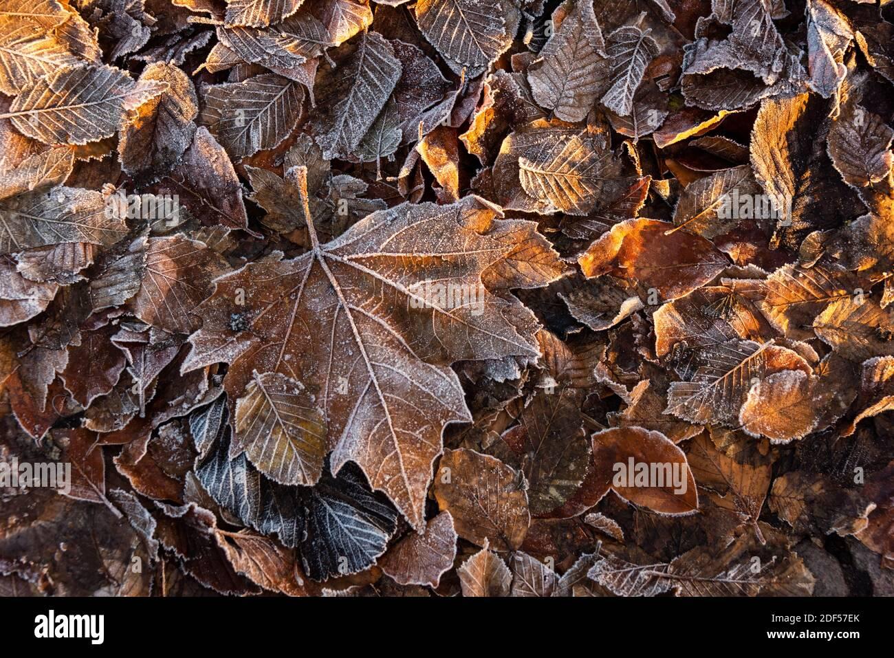 Bunte Blätter bei Sonnenaufgang im Winter mit Rauhreif Stock Photo