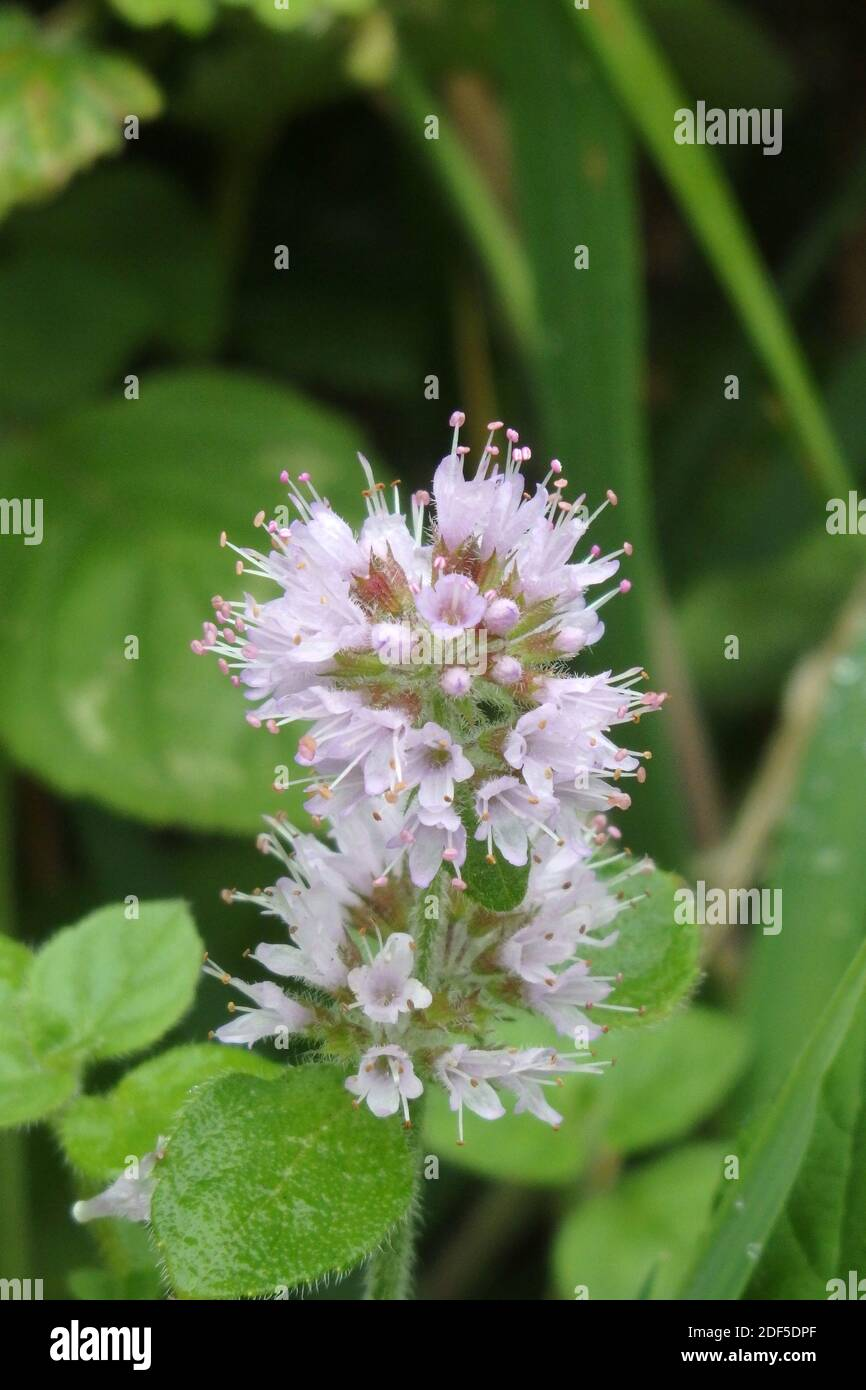 Water Mint Plant in Flower ( Mentha aquatica ) UK Stock Photo