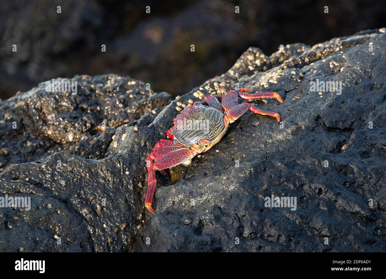 Red rock crab (Grapsus adscensionis) in the coast of San Andres, La Palma (Canary Islands). Stock Photo