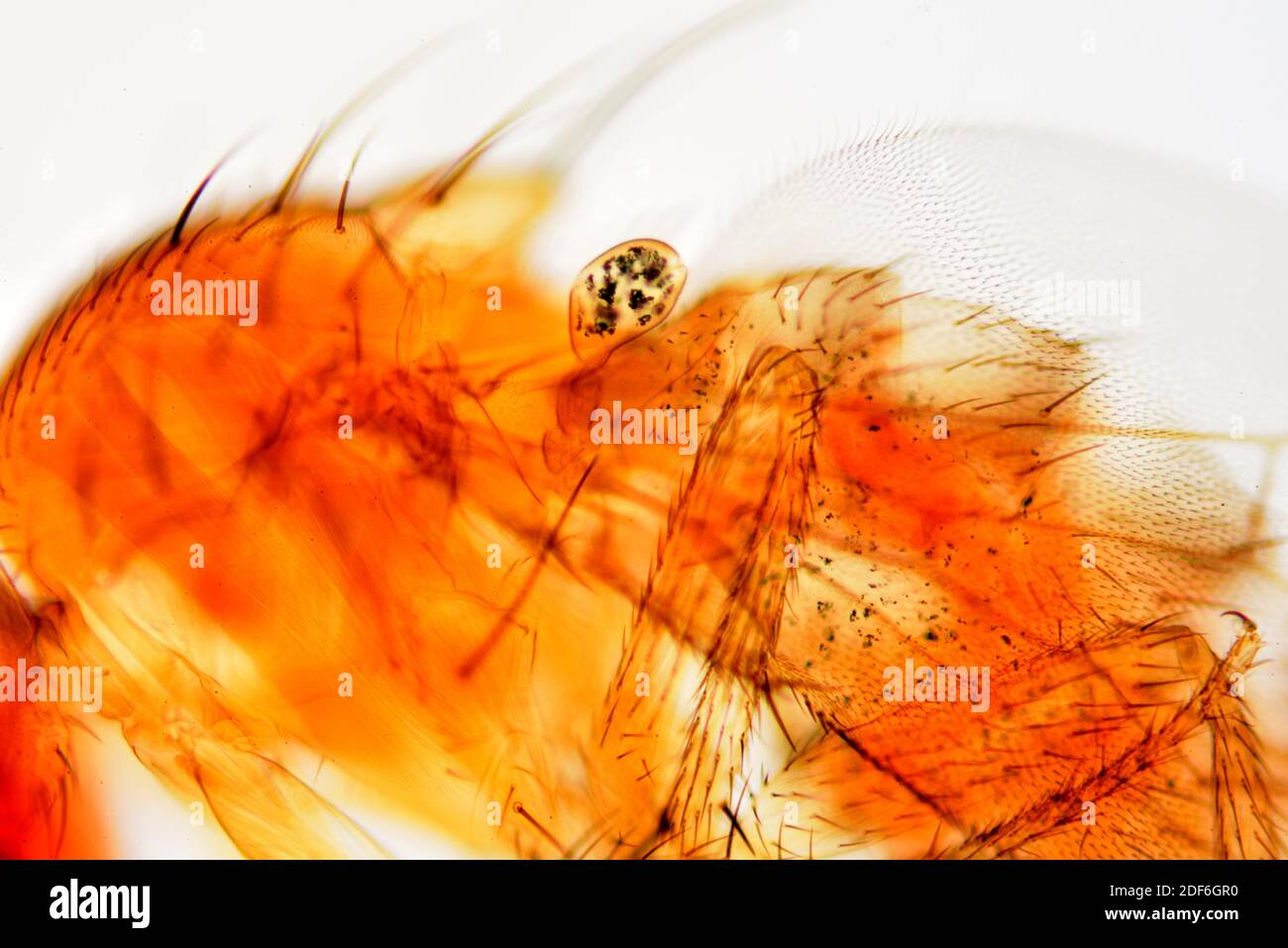Vinegar fly or fruit fly (Drosophila melanogaster) halter detail. Optical microscope X100. Stock Photo