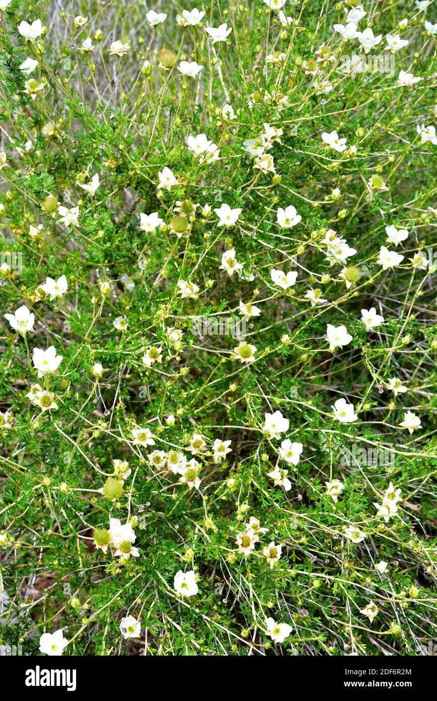Apache plume (Fallugia paradoxa) is a shrub native to southwestern USA and northwestern Mexico. Flowers detail. Stock Photo