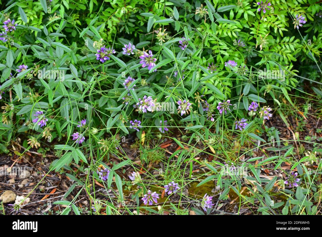 Arabian pea or pitch trefoil (Bituminaria bituminosa or Psoralea bituminosa) is a perennial herb native to Mediterranean Basin and western Asia. This Stock Photo