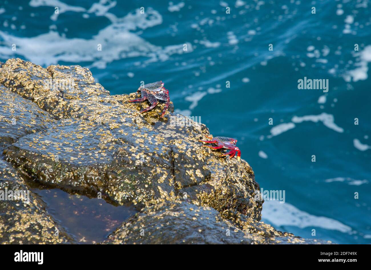 Cangrejo rojo (Grapsus adscensionis) is a crab native to Macaronesia Islands. This photo was taken in La Palma Island, Canary Islands, Spain. Stock Photo