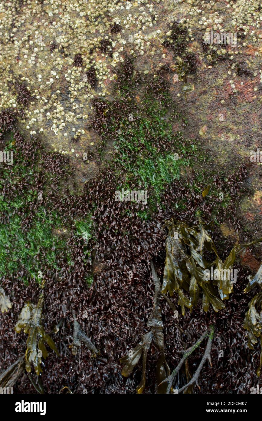 At the average high tide mark there is great competition between acorn barnacles (crustaceans) and the various common seaweeds, such as Sea Lettuce Stock Photo