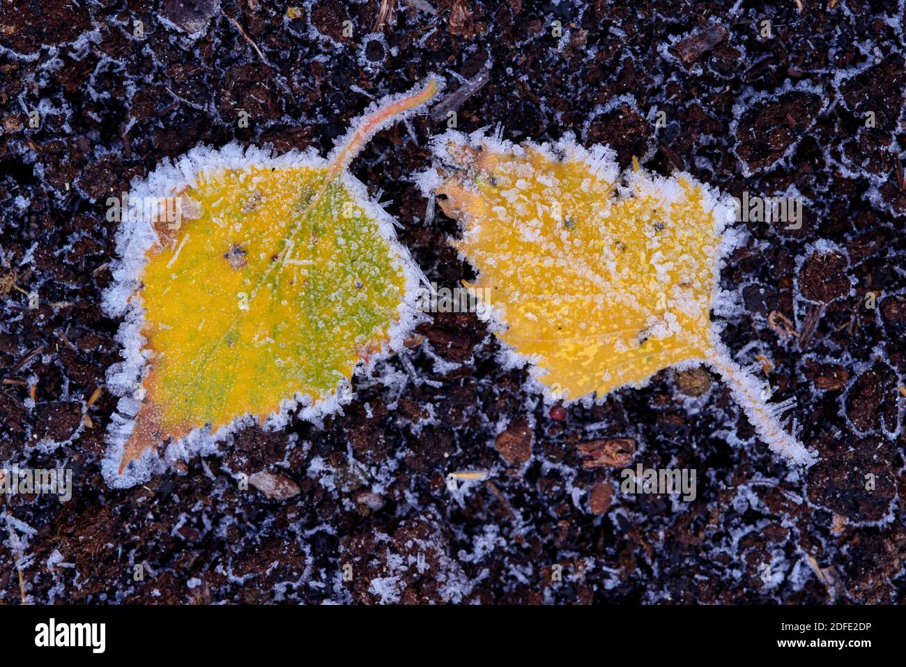Birkenblatt im Winter, Rauhreif, Frost, Stock Photo