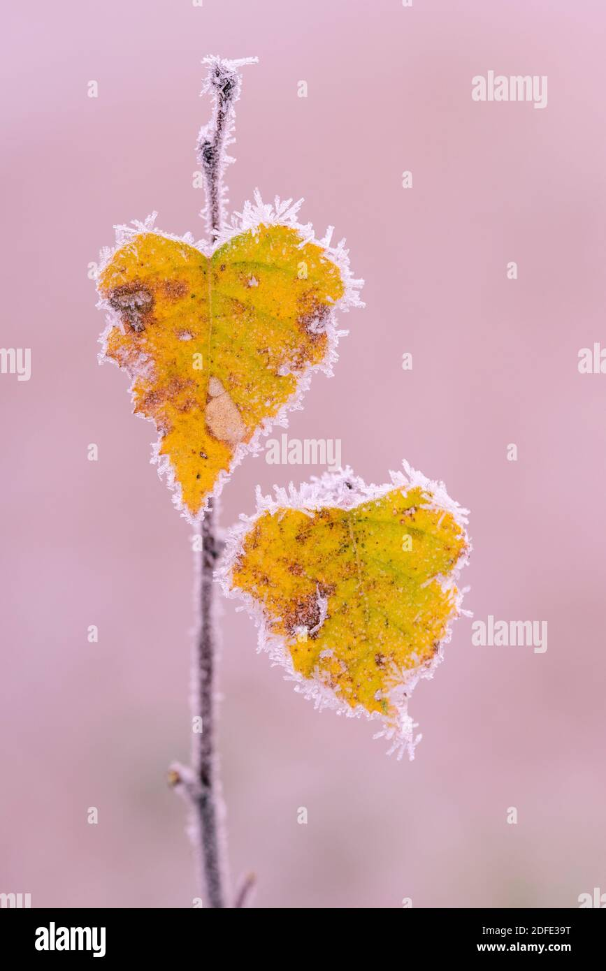 Birkenblätter im Herbst, Winter, Goldenstedter Moor, Stock Photo