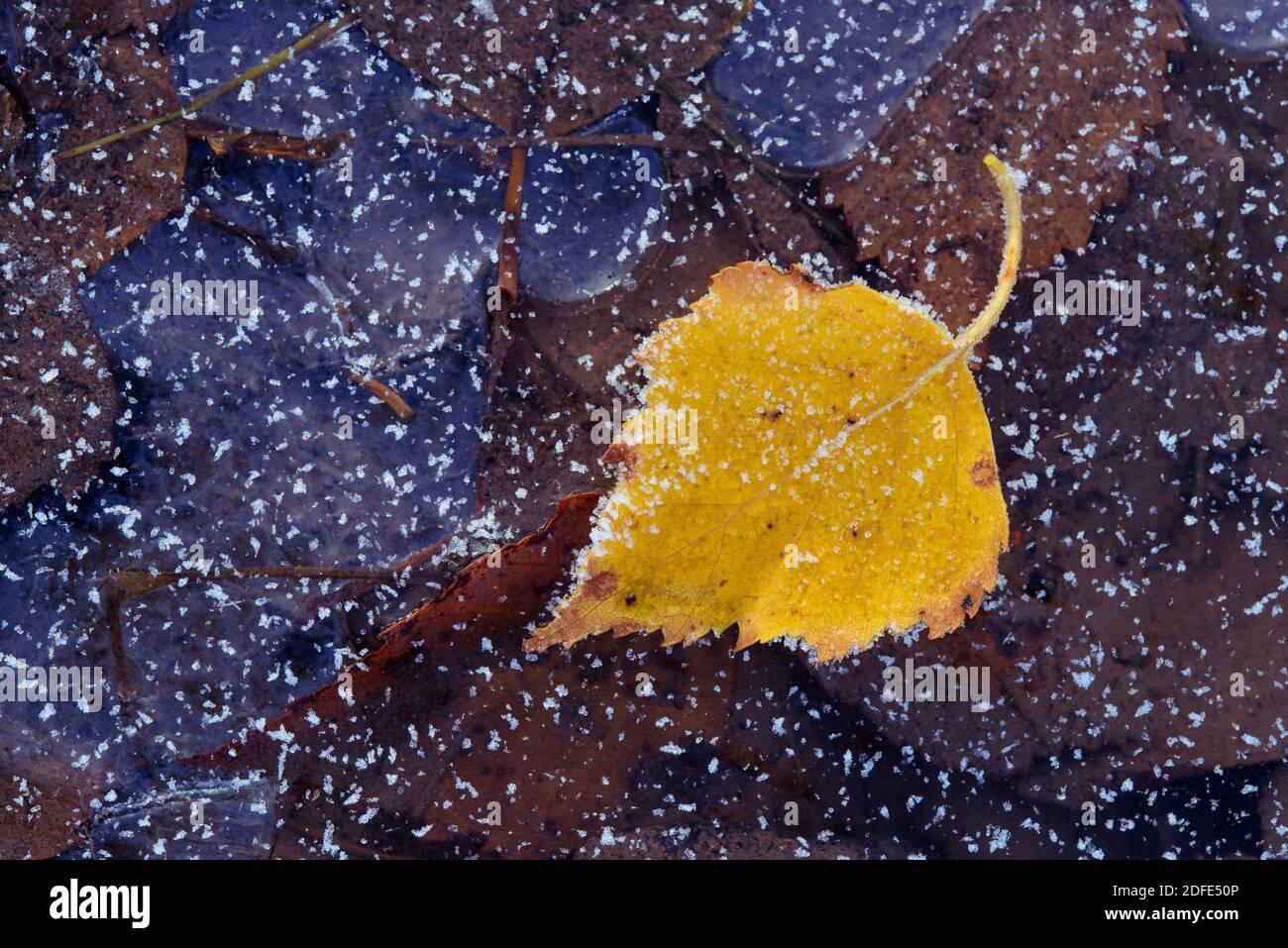 Birkenblätter im Herbst, Winter, Goldenstedter Moor,Eis, Rauhreif, Frost, Stock Photo