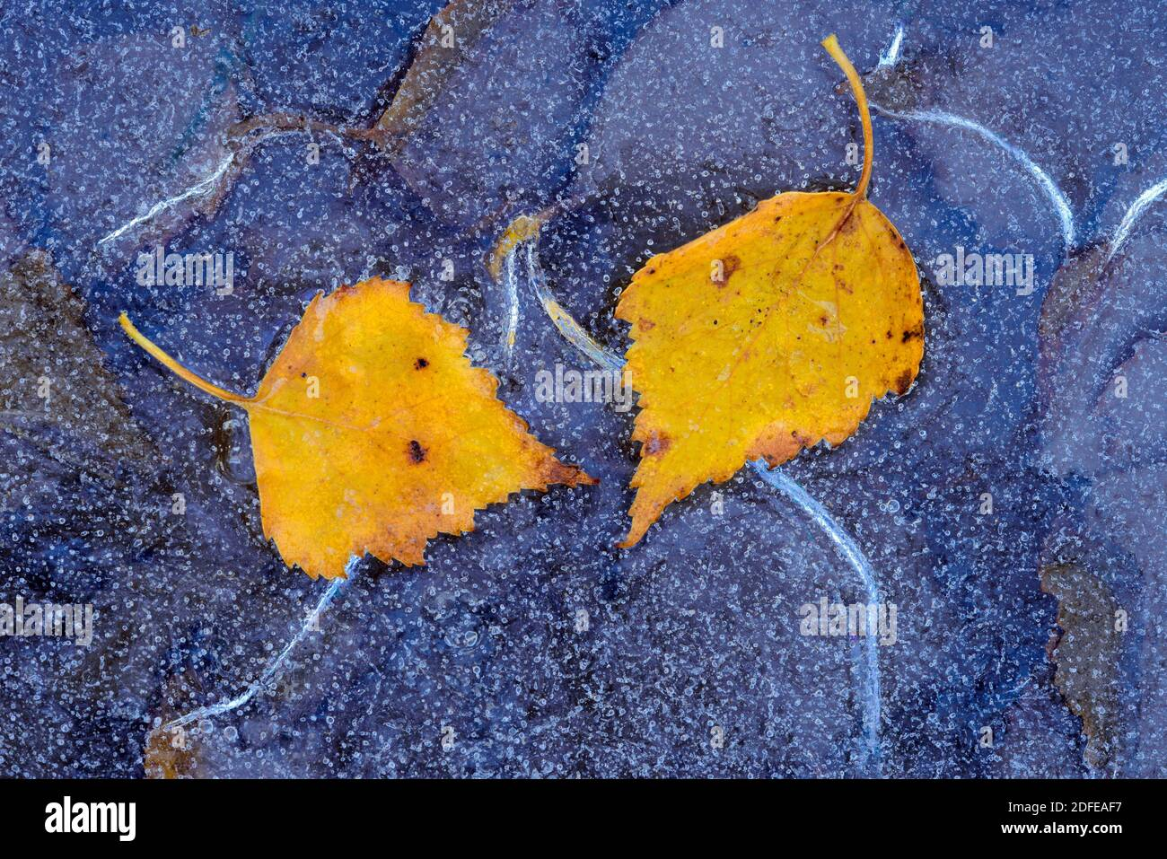 Birkenblatt im Herbst, Winter, Goldenstedter Moor, Stock Photo