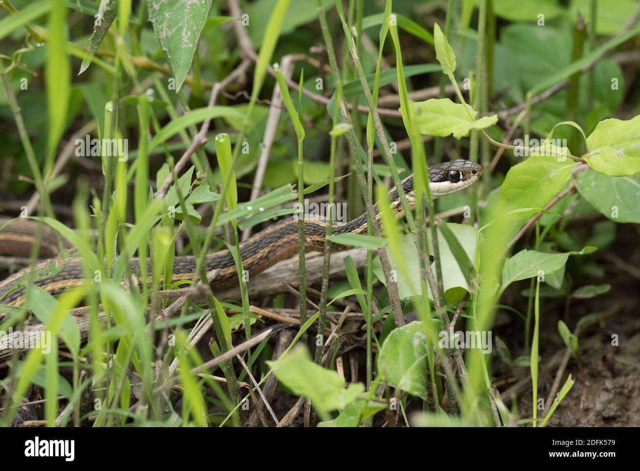 A Eastern ribbon snake or common ribbonsnake slithers through the grass in a wetland environment. Stock Photo