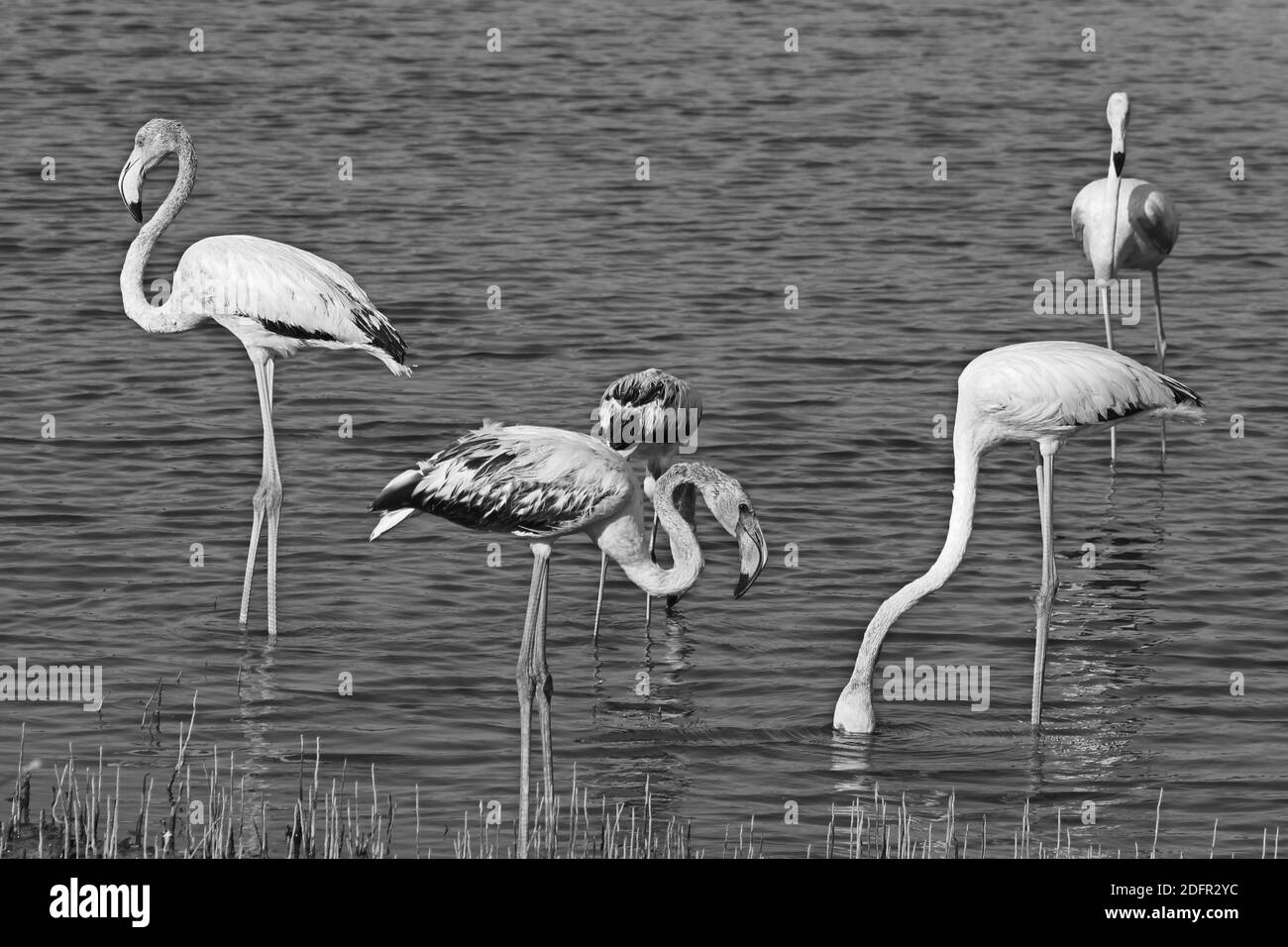 Greater flamingo is the most widespread and largest species of the flamingo family. It is found in Africa, Indian subcontinent, Middle East and  Europ Stock Photo