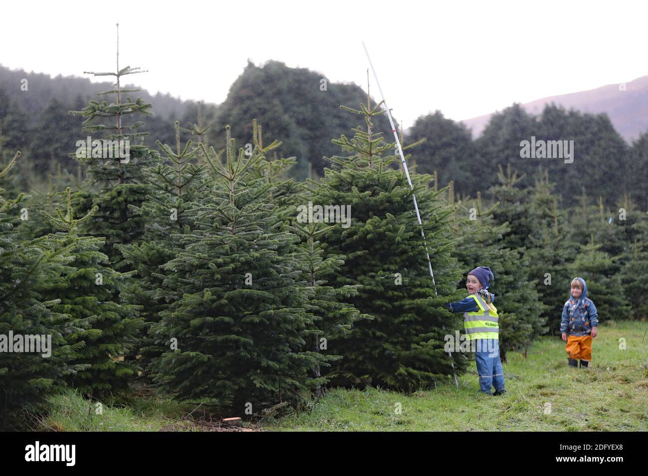 Left To Right Quin Cunningham 5 And His Younger Brother Senan 3 Use A Measuring Stick While Choosing A Tree At Wicklow Way Christmas Tree Farm Near Laragh In Co Wicklow Stock