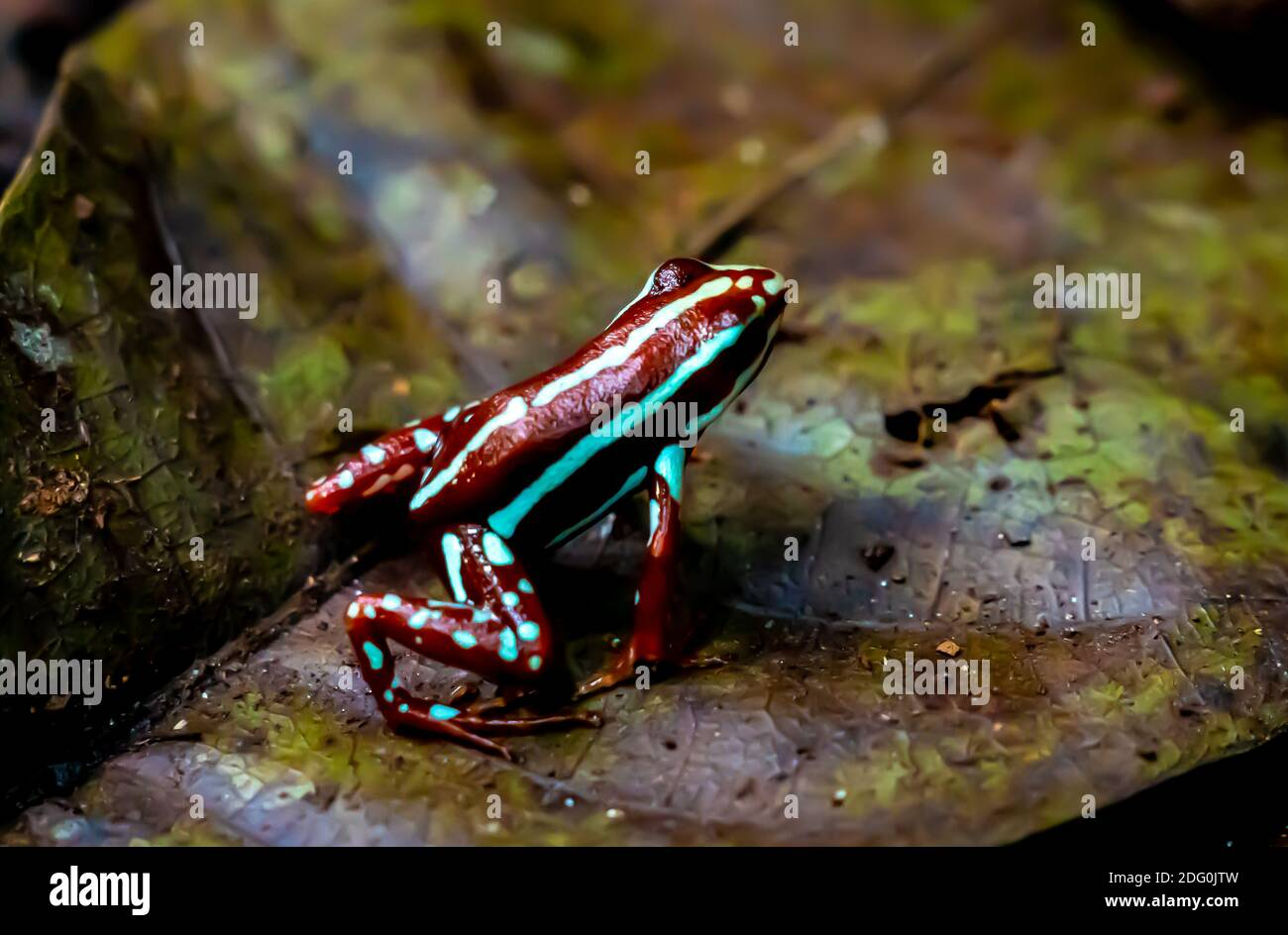 Colorful small frog in the rainforest ,close up. High quality photo Stock Photo