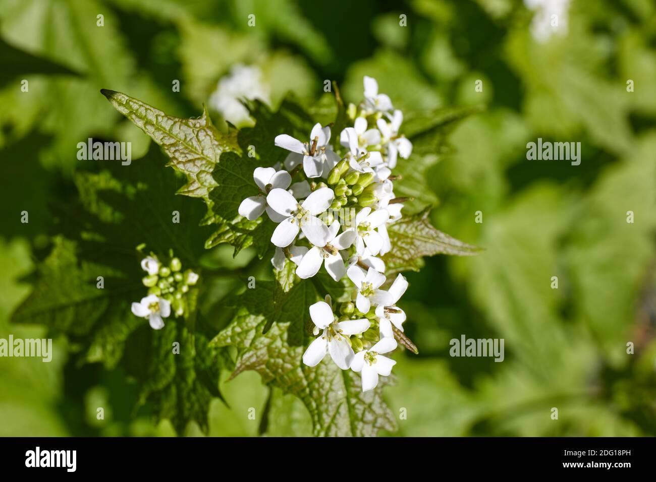 Alliaria petiolata, garlic mustard, with flowers Stock Photo