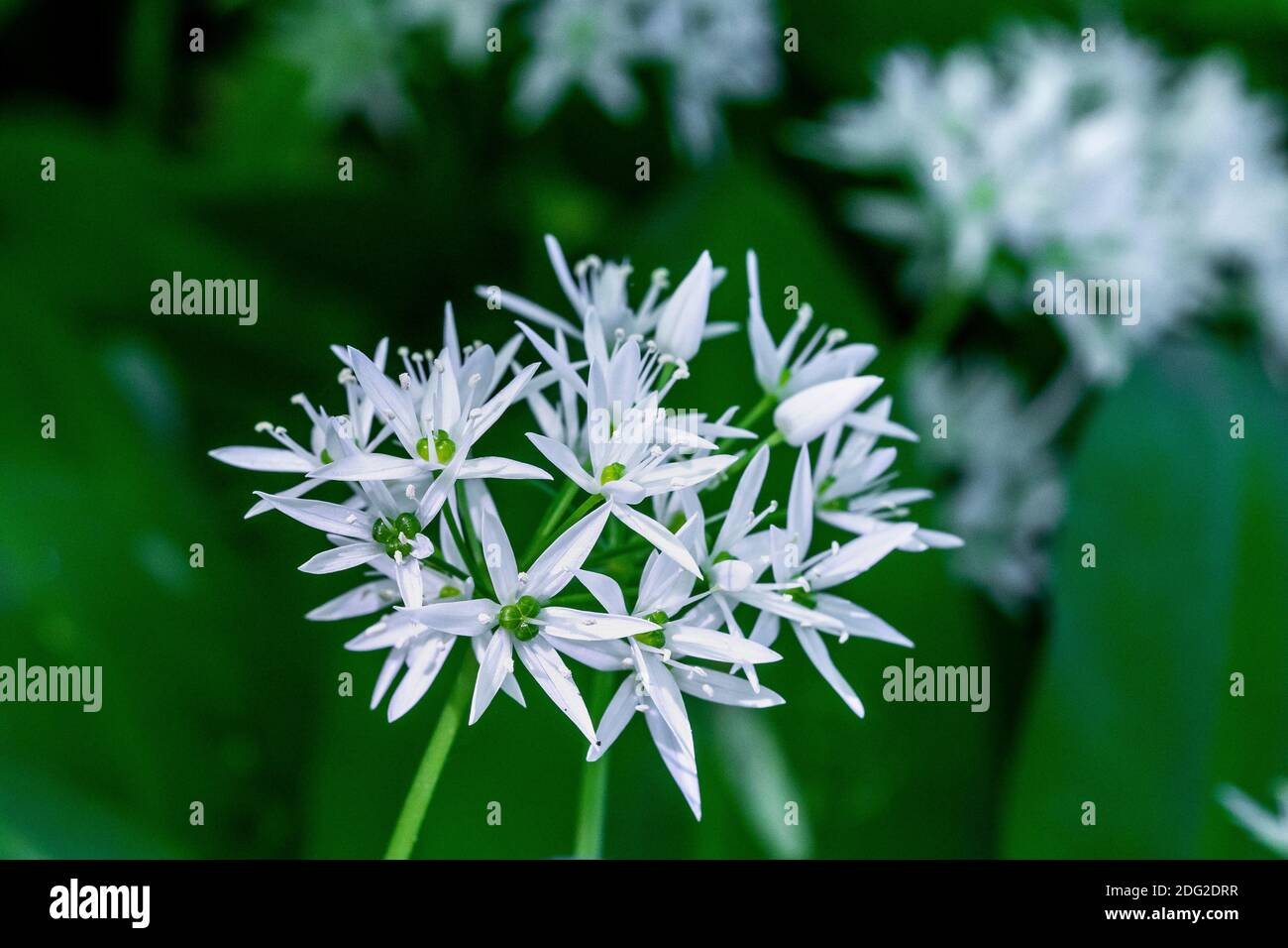 Bärlauch (Allium ursinum) Stock Photo
