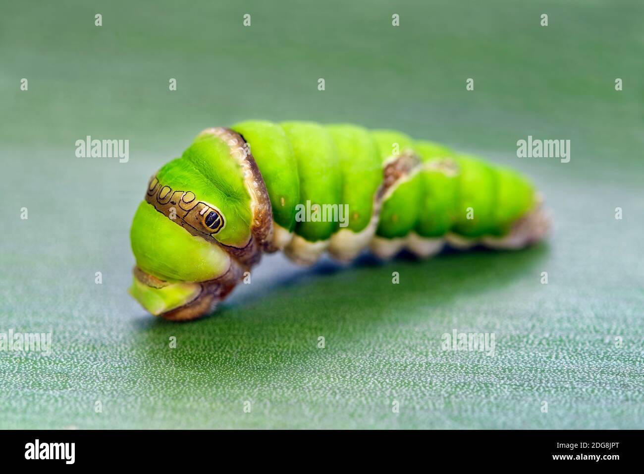 Citrus swallowtail caterpillar - Papilio demodocus Stock Photo