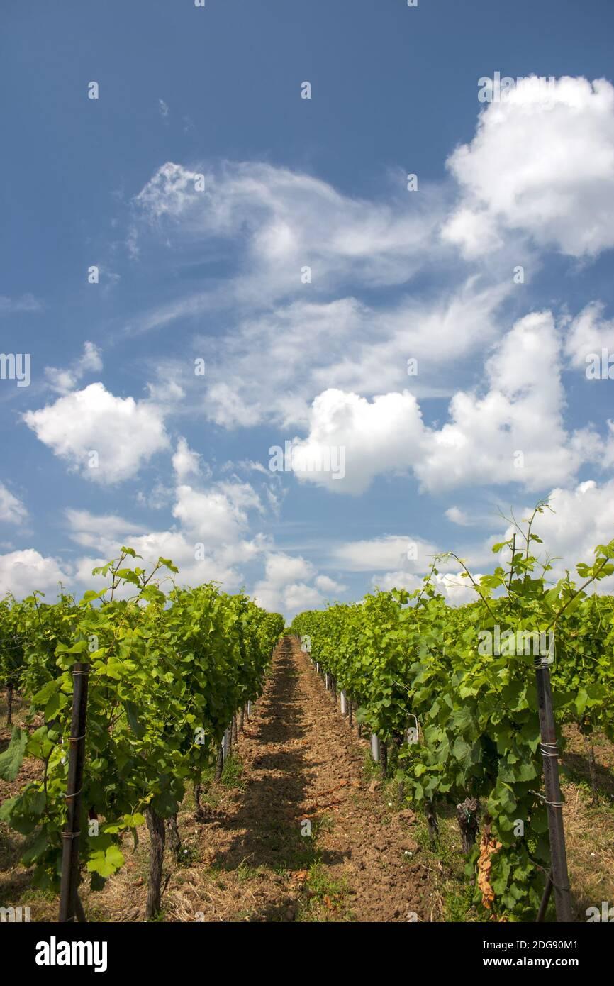 Vines in summer Stock Photo
