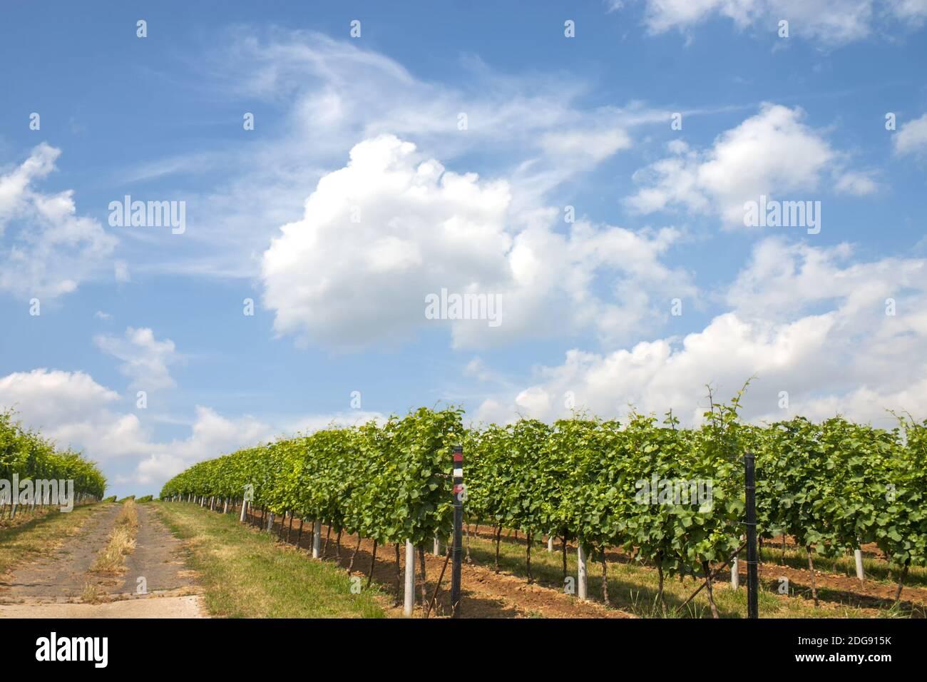 Path between vineyards in summer Stock Photo