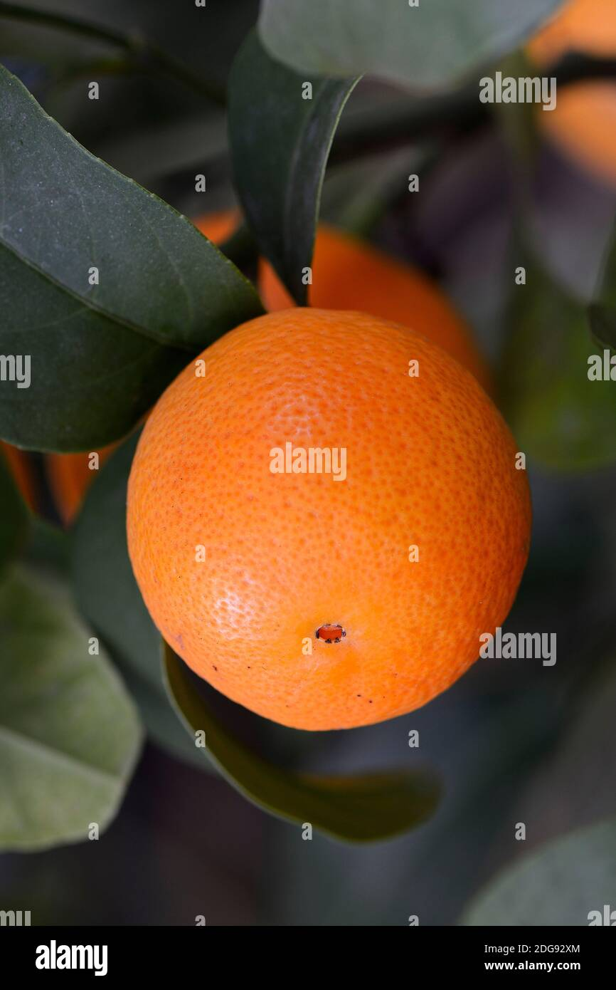 Orange (Citrus spec.) an einem Orangebaum Stock Photo