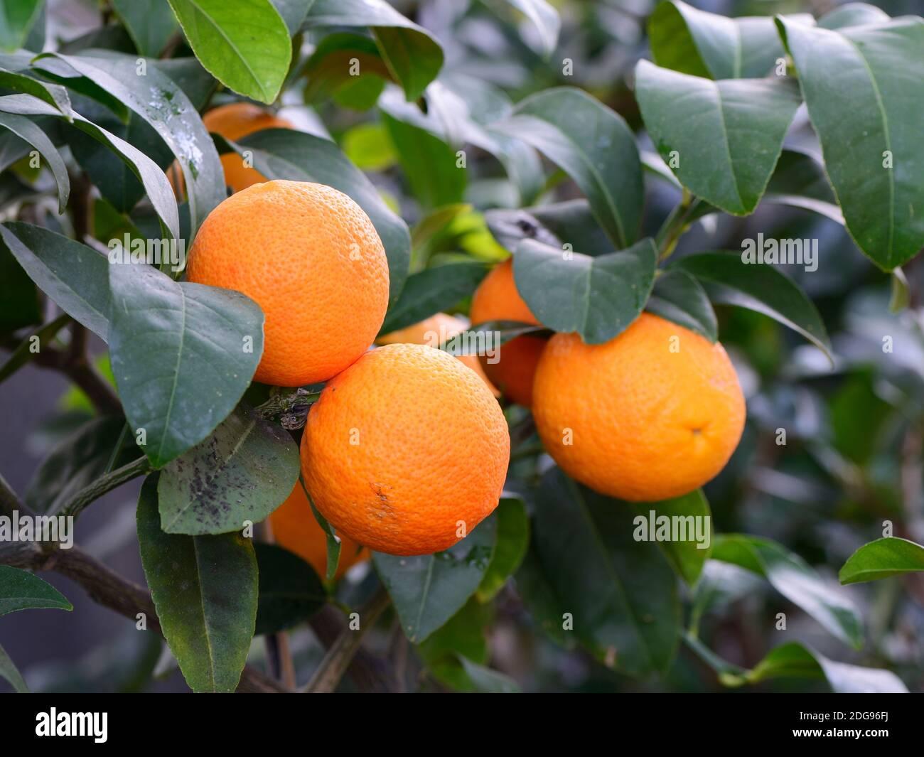Orange, Citrus volameriana, Europa Stock Photo