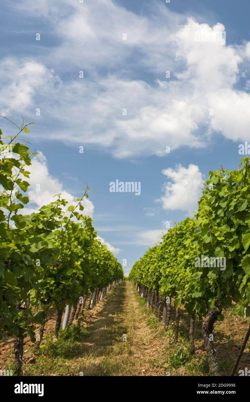 Vines in summer Stock Photo