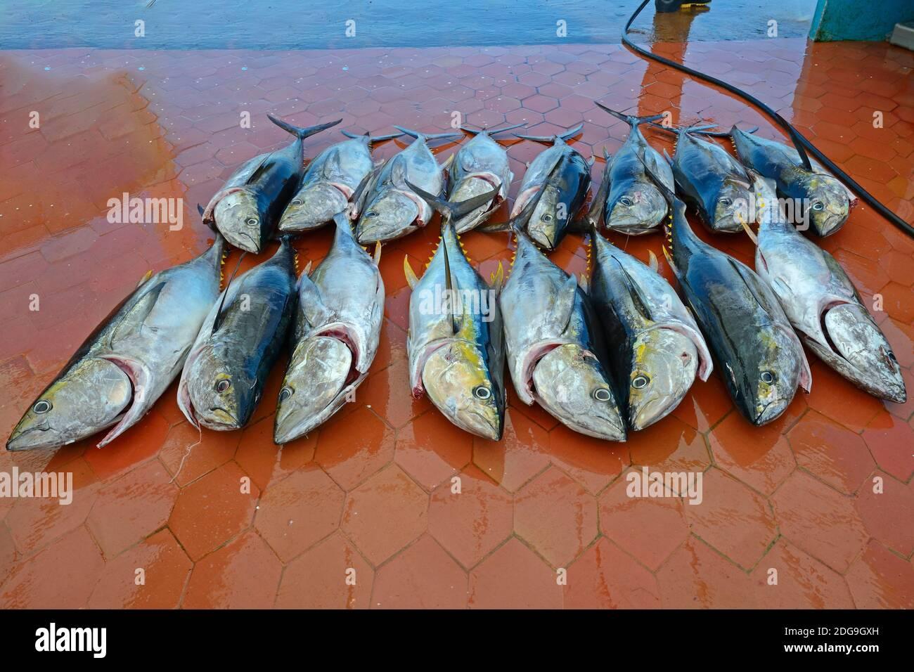frisch gefangene Gelbflossenthunfische (Thunnus albacares) im Fischerhafen von  Puerto Ayora,  Insel Santa Cruz, Indefatigable Island, Galapagos Archi Stock Photo