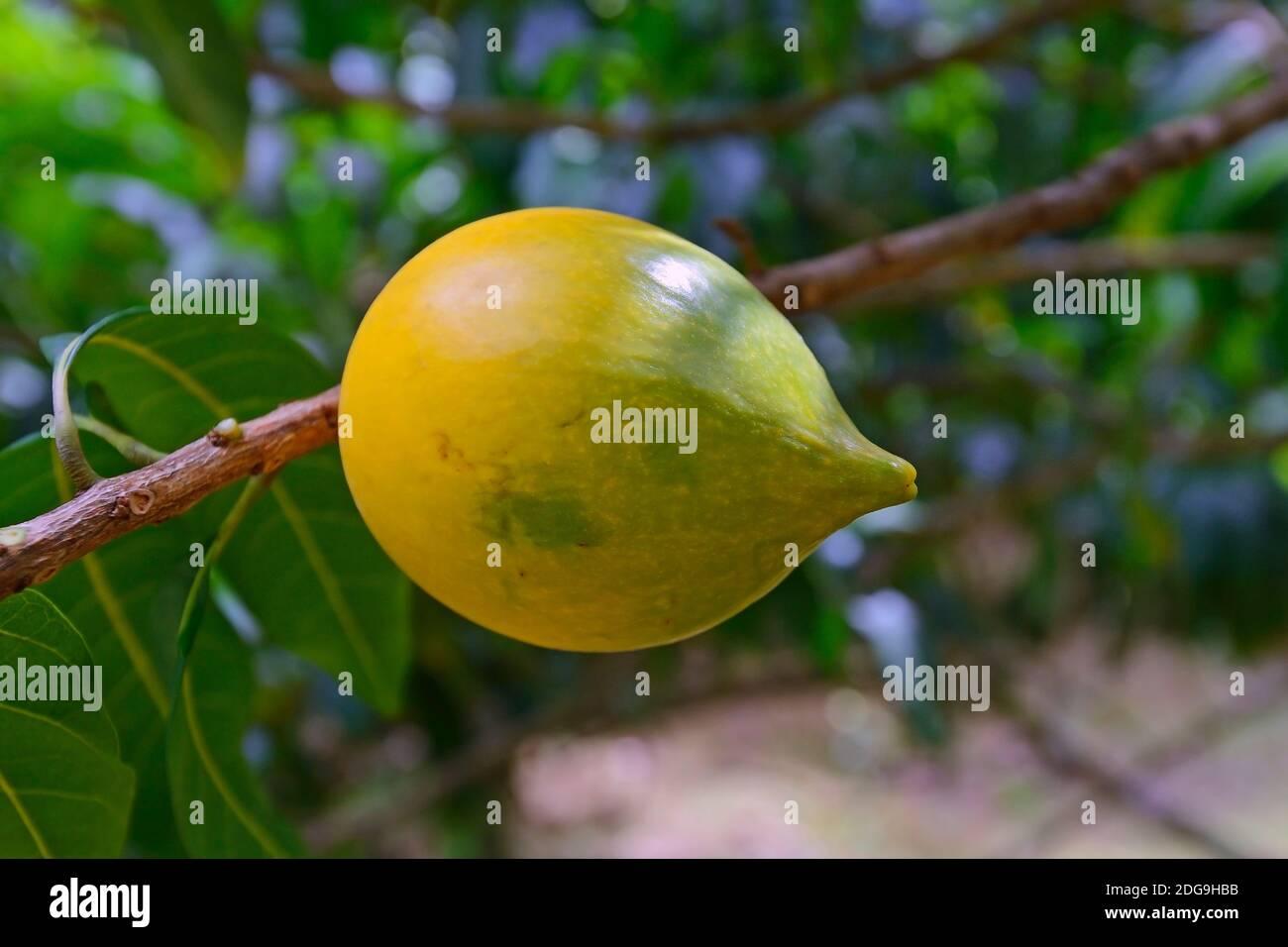 Caimito-Eierfrucht (Pouteria caimito), Rarität, Insel Mahe, Seychellen Stock Photo