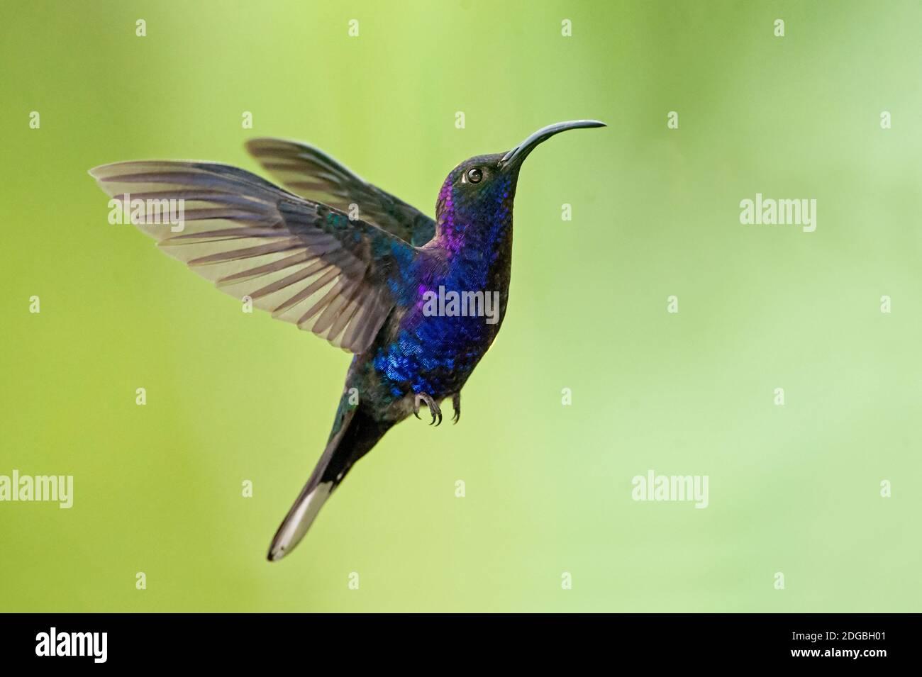 Violet sabrewing (Campylopterus hemileucurus), Savegre, Costa Rica Stock Photo