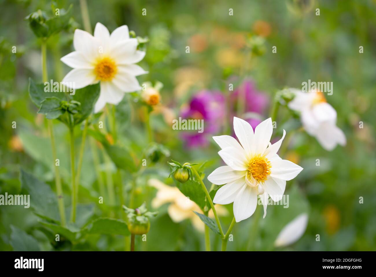 White Anemone Or Dahlia Flowers In The Field Of Flowers Stock Photo Alamy