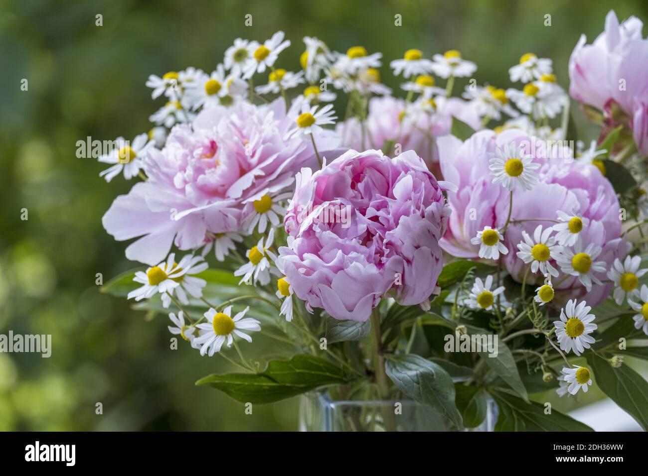 Peonies (Paeonia) and chamomile Stock Photo