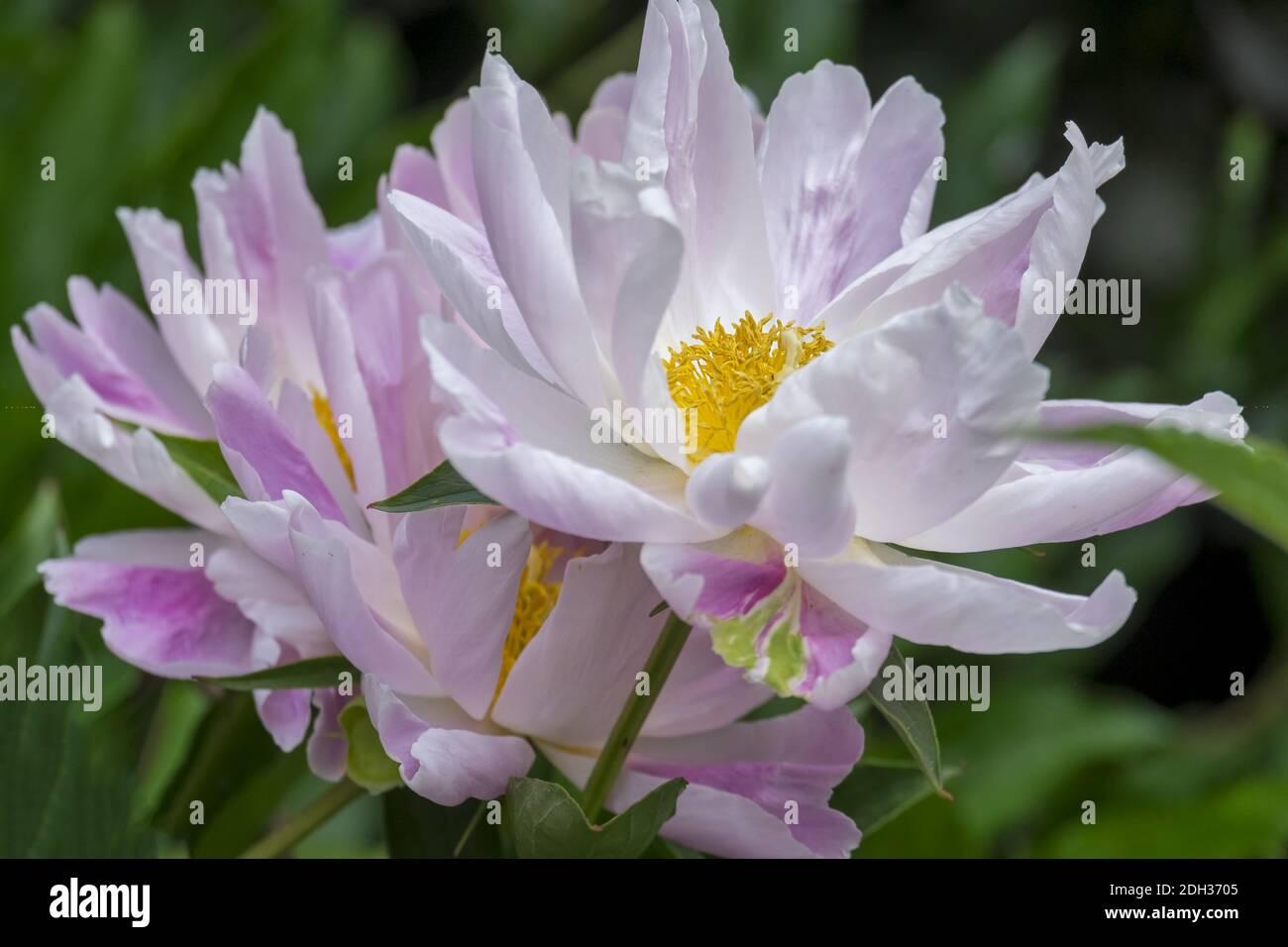 Peonies (Paeonia) Stock Photo
