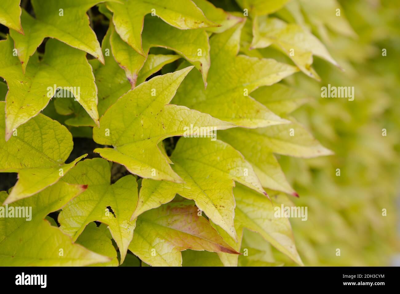 Wild wine, Parthenocissus tricuspidata Stock Photo