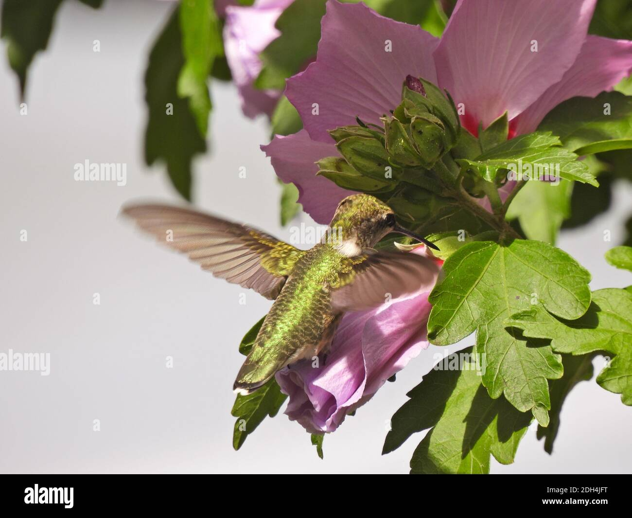 Ruby-Throated Hummingbird in Flight Gathering Nectar from Rose of Sharon Flower Bloom Stock Photo
