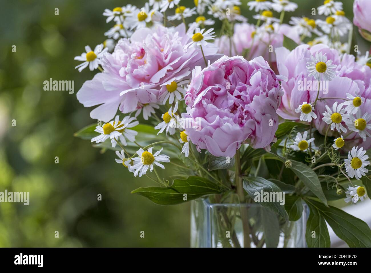 Bouquet with peonies (Paeonia) and chamomile Stock Photo