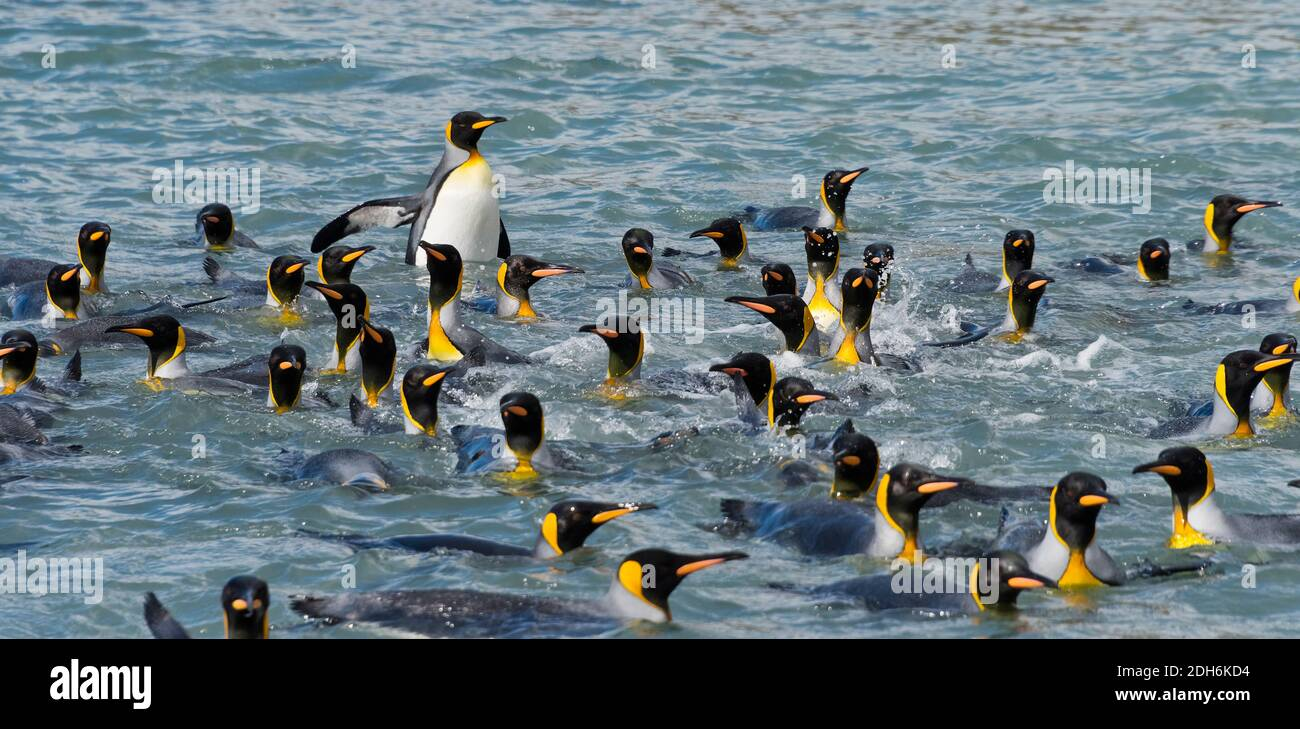 King Penguins swimming in South Atlantic Ocean, South Georgia Island Stock Photo