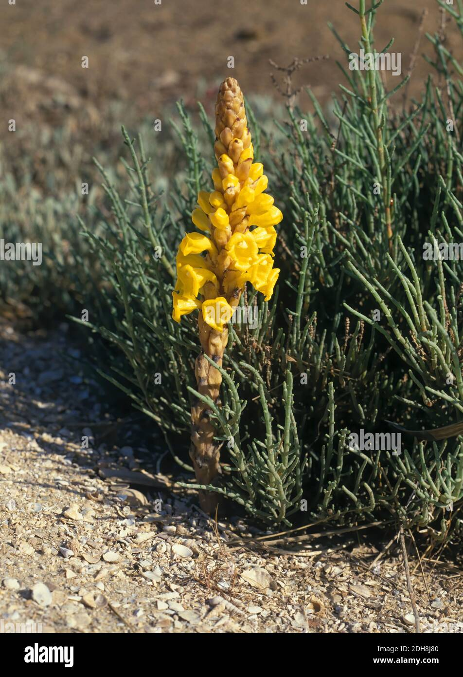 Cistanche phelypaea, with flowers. It is a parasitic plant, which grows mainly in salt marsh areas. It has no chlorophyll, so it extracts its Stock Photo