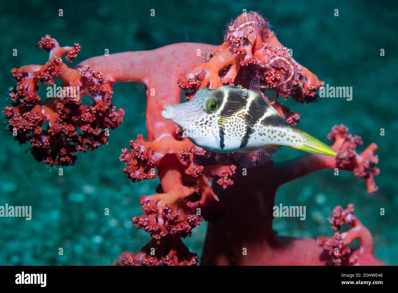 Mimic Leatherjacket or Blacksaddle Mimic [Paraluteres prionurus].  Lembeh Strait, North Sulawesi, Indonesia. Stock Photo